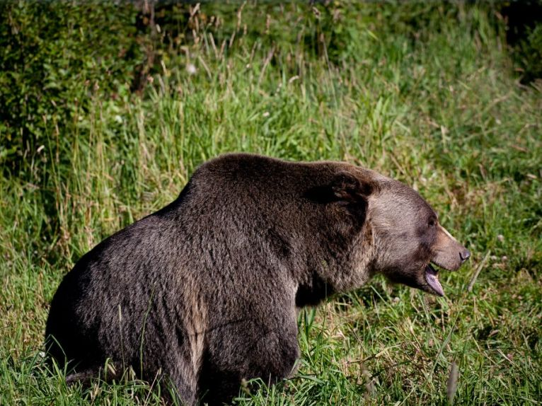 Boo, the grizzly bear