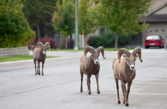 RESIDENT SHEEP